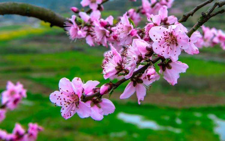 十里桃林映春风 新湖南www.hunanabc.com